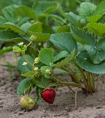 foto of strawberry plant  - Organic strawberries on a plant in a garden - JPG
