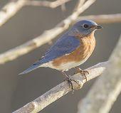 foto of bluebird  - A male Eastern Bluebird sits on a tree branch - JPG
