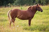 pic of chestnut horse  - Chestnut horse standing still in the summer meadow - JPG