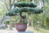picture of bonsai  - Chengdu Sichuan Province China  - JPG