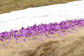 picture of saffron  - winter and spring contrasts on mountain meadow beautiful wild saffron field near snow - JPG