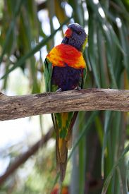 stock photo of lorikeets  - Rainbow lorikeet sitting in the bush and looking around - JPG