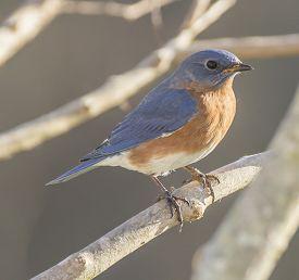 picture of bluebird  - A male Eastern Bluebird sits on a tree branch - JPG