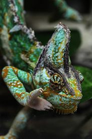 picture of chameleon  - Veiled chameleon  - JPG