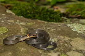 image of coil  - A Ringneck Snake coiled on a stone - JPG