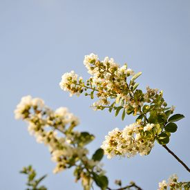 stock photo of crepes  - Crepe myrtle blooms in morning light - JPG
