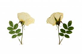 stock photo of wild-brier  - Pressed and dried flower on a stalk wild rose photographed from the front and back of the flower - JPG