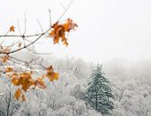 One Evergreen Stands Tall Above A Forest Of Trees With Barren White Icey Branches poster
