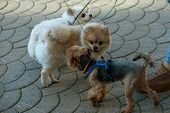 Get Them Outside And They Are Quite The Happy Campers. Pedigree Dogs. Dog Pets. Cute Small Dogs Play poster