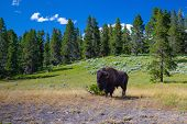 The Bison In Yellowstone National Park, Wyoming. Usa.  The Yellowstone Park Bison Herd In Yellowston poster