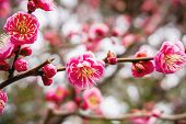 Closeup Beautiful And Bright Pink Cherry Blossoms Blooming On Tree Brunch And Blurry Full Bloom Back poster