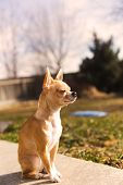 Purebred Chihuahua With Fawn Fur Sitting Outside In Sunlight And Looking On. poster