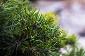 Close Up Photo Of Green Needle Pine Tree On The Left Side Of Picture. Small Pine Cones At The Branch poster