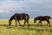 picture of workhorses  - Feeding mare and young foal at pasture - JPG