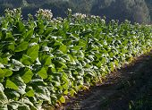 stock photo of tobacco leaf  - Bright leaf tobacco field. The bright leaf tobacco is used for cigarettes