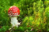 stock photo of hallucinogens  - The Fly Agaric or Fly Amanita  - JPG