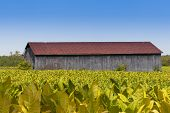 stock photo of tobacco barn  - Close up view of barn and tobacco plants field - JPG