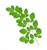 picture of oleifera  - Moringa oleifera leaves isolated on white background - JPG