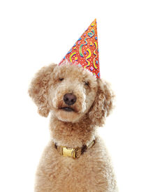 foto of parti poodle  - cute beige poodle wearing party hat white background - JPG