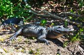 image of alligators  - Alligator in Florida - JPG