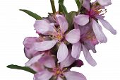 foto of nana  - Flowers of almonds low or steppe on a branch close up