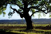 Soft focus Tree silhouette with vinyard