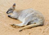 pic of wallaby  - A lone wallaby laying on the ground resting - JPG