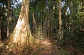 picture of penetration  - Sunlight Penetrating the Dense Vegetation in the Amazon Jungle - JPG