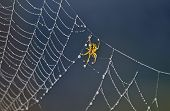 Постер, плакат: Spider on spider web