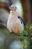 foto of blue winged kookaburra  - A close up shot of an Australian Kookaburra - JPG
