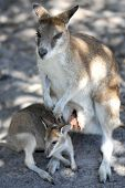 foto of wallabies  - A close up shot of an Australian Wallaby
