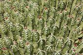 picture of backround  - Lots of green mediterranean cactuses for backrounds. ** Note: Shallow depth of field - JPG