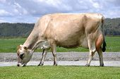 image of lactating  - High production pedigree Jersey cow showing off udder attachment West Coast New Zealand - JPG