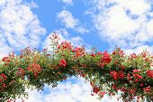 stock photo of climbing roses  - Rose Arch In the Garden and Blue Sky - JPG