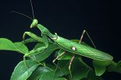 pic of tamil  - Spotted praying mantis on leaves in Tamil Nadu South India  - JPG