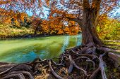 stock photo of foliage  - Intricate Intertwined Gnarly Cypress Tree Roots with Beautiful Fall Foliage on the Banks of the Guadalupe River at Guadalupe State Park - JPG