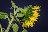 image of night-blooming  - yellow sunflower lit by flash in night - JPG