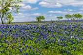 stock photo of bluebonnets  - A Beautiful Crisp View of a Field Blanketed with the Famous Texas Bluebonnet  - JPG