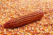 image of maize  - Dry Maize ear sitting in pile of corn grains - JPG