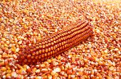 picture of maize  - Dry Maize ear sitting in pile of corn grains - JPG