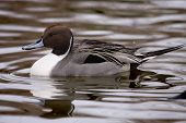 picture of pintail  - Northern pintail duck  - JPG