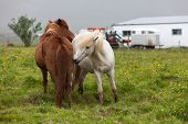 stock photo of iceland farm  - Icelandic brouwn and white horses play near the farm - JPG