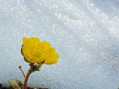 picture of primrose  - primrose yellow on the background of last year - JPG