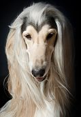 stock photo of hairy tongue  - An outstanding afghan hound portrait on black - JPG