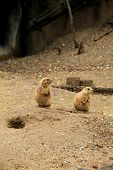 stock photo of prairie  - Two alert Prairie Dogs, standing at attention, in natural habitat. ** Note: Visible grain at 100%, best at smaller sizes - JPG