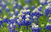 foto of bluebonnets  - Texas bluebonnets  - JPG