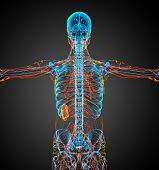 picture of nod  - 3d render medical illustration of the lymphatic system  - JPG