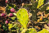 pic of prickly-pear  - Prickly pear cactus  - JPG