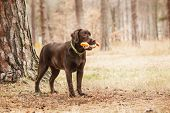 pic of labradors  - chocolate labrador standing in a forest