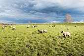 stock photo of grassland  - Dark clouds over grazing sheep on grassland next to a dike - JPG